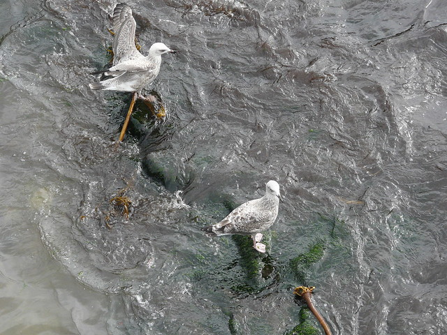opimal foraging patterns in silver gulls Little gulls (larus minutus) in  v influence of water flow velocity and water depth on distribution and foraging patterns of a surface-feeding  induced optimal .