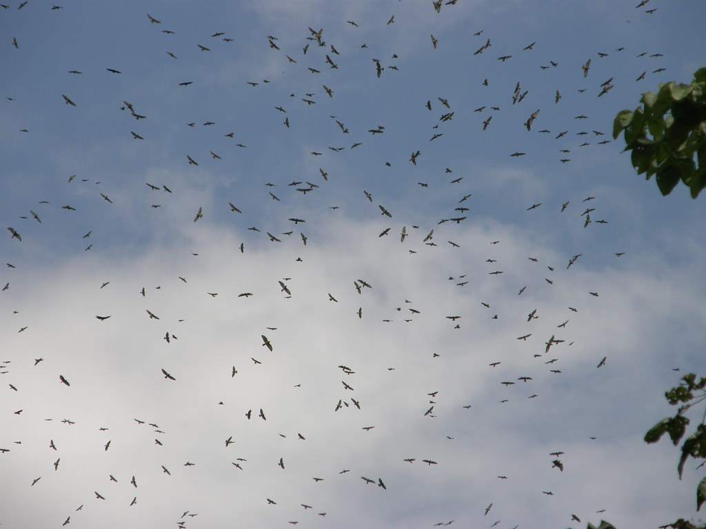 Broad-winged hawks circling over Soberanía National Park, Panama. Credit: bgv23, Creative Commons 2.0 Generic (CC BY 2.0)