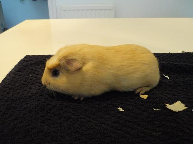 Crested guinea pig - photo#38