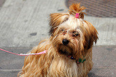 dog breed, animal, dog, pet, norfolk terrier, mammal, biewer terrier, havanese, lhasa apso, morkie, yorkshire terrier, terrier,