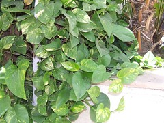 shrub(0.0), vegetable(0.0), flower(0.0), malabar spinach(0.0), produce(0.0), food(0.0), annual plant(1.0), leaf(1.0), plant(1.0), herb(1.0), ivy(1.0),