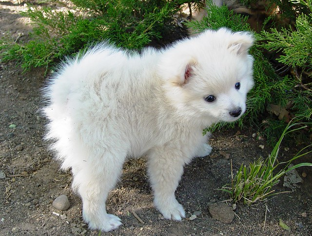 The White Half Pomeranian Half Poodle Puppy at my Brother ...