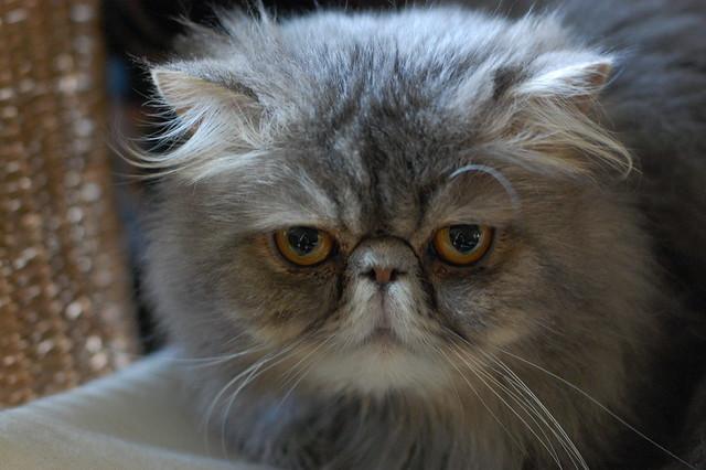 Persian Cat Favorite Food