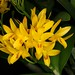 Cattleya aurantiaca Spies