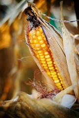 {Corn Bokeh}