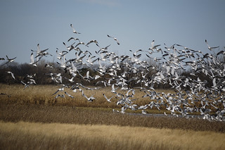 Gulls in Flight (1)