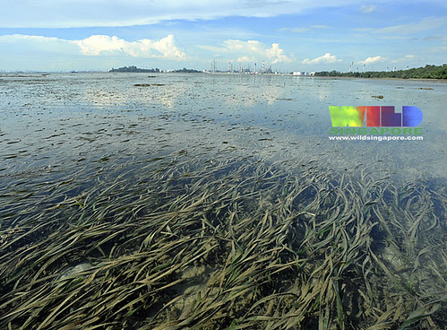 Semakau seagrass meadows