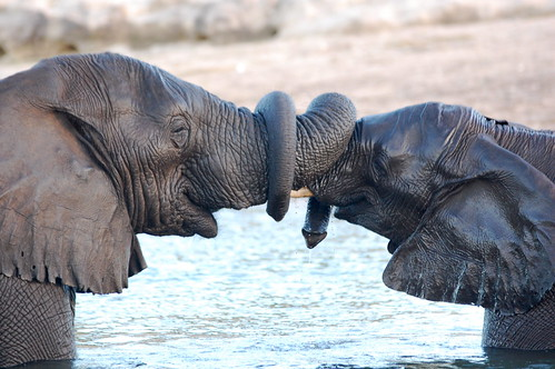 Trunk wrestling elephants