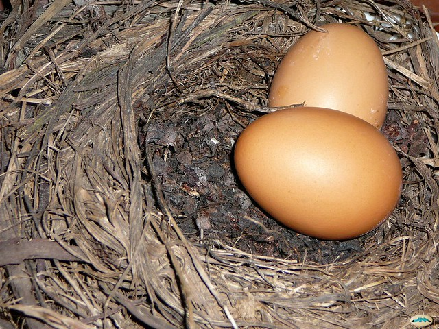 Dos huevos claros