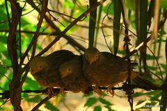 Jungle Babblers Threesome