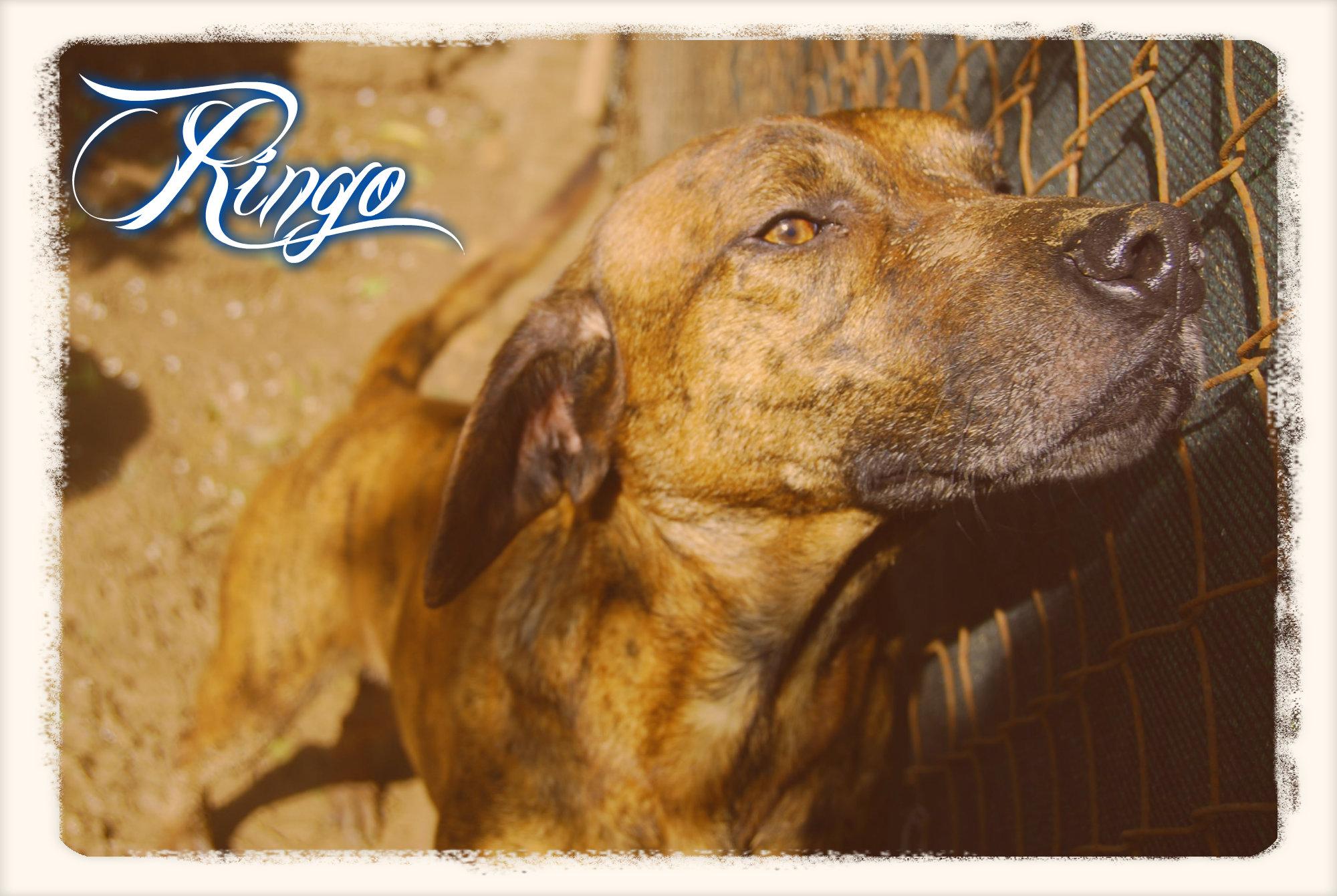 Ringo 7
