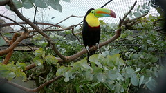 Toucan, London Zoo, London, UK.JPG