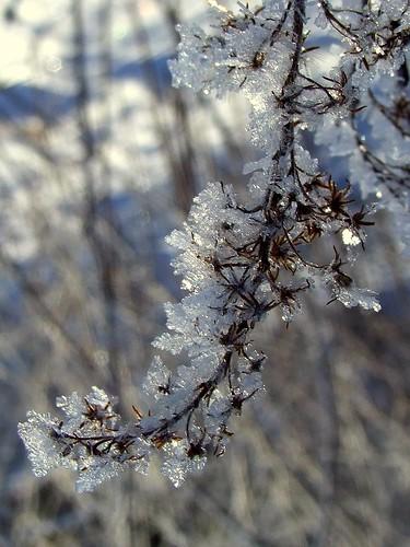 ohio cleveland goldenrod 2008 kirtland holdenarboretum iceflowers platinumphoto treehugger007 showmeyourqualitypixels