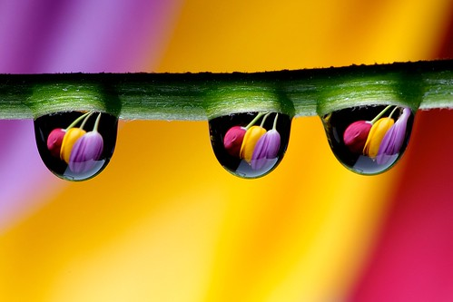Drops and Tulips