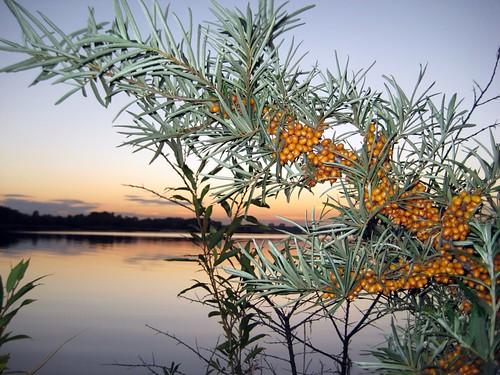 Berries at sunset, Ķīšezers, Riga