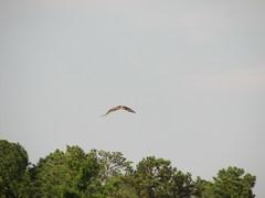 3816 Osprey in FLight