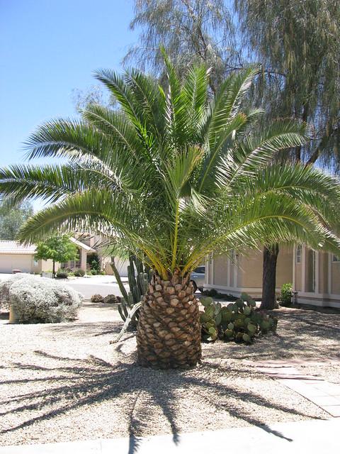 Dwarf Palm Dwarf date palm image