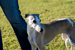 dog sports, animal, magyar agã¡r, dog, polish greyhound, whippet, galgo espaã±ol, sloughi, pet, mammal, italian greyhound, greyhound,