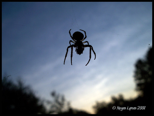 Silhouette of a Spider Eating a Fly
