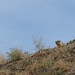 Small photo of Alan Brooks Nature Centre--Marmot on Hill