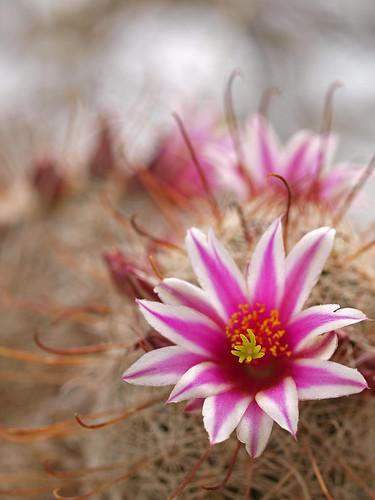flowers arizona usa southwest macro prime desert tucson bloom saguaronationalpark signalhilltrail zd 50mmmacro20
