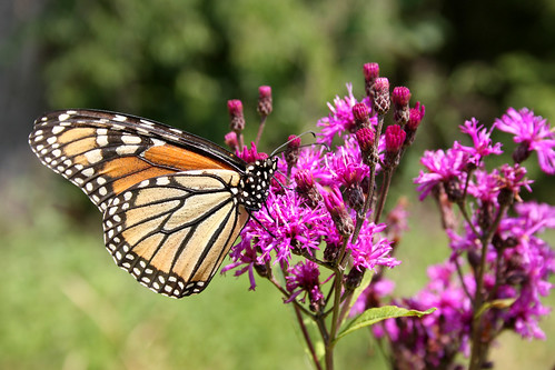 Monarch, Danaus plexippus on ironweed, Vernonia gigantea