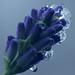 Frozen Lavender_PICT0718