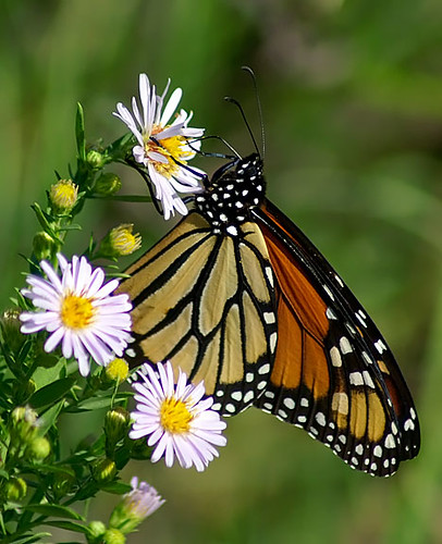 nature butterfly texas wildlife lepidoptera monarch