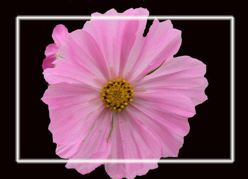 Light Pink Cosmos On Black Inside Border