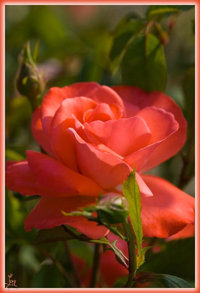 Rosa / Rose 012.