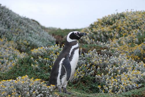Magellanic Penguin, Punta Arenas, Chile by RV Bob