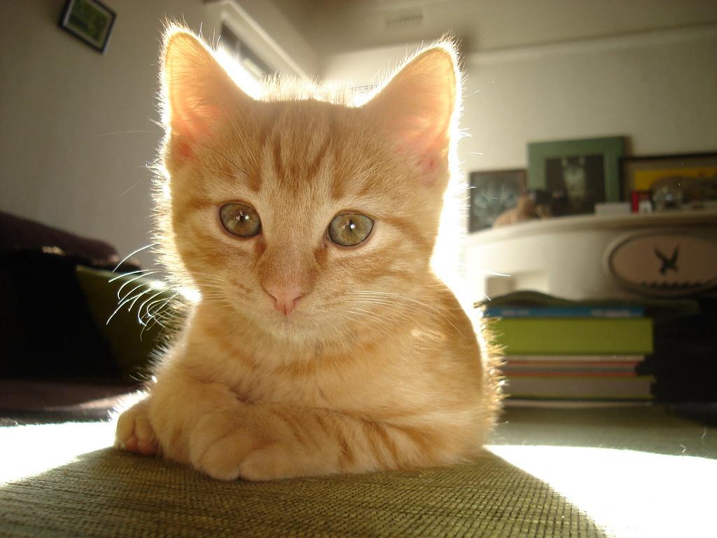 foster kitten Boots