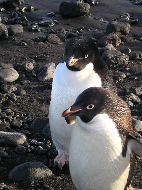 Header of Adelie Penguins