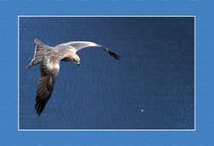 Bird in Air @ Sri Lanka