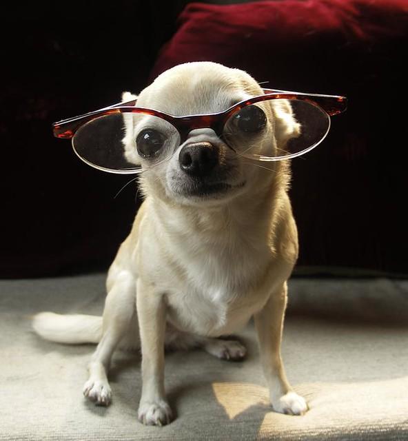 R Chihuahuas Smart My Little Scholar, Pea...