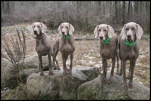 FOUR Weimaraners