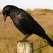 Crows, Ravens, Jackdaws, and Rook - Photo (c) Joe McKenna, some rights reserved (CC BY-NC)