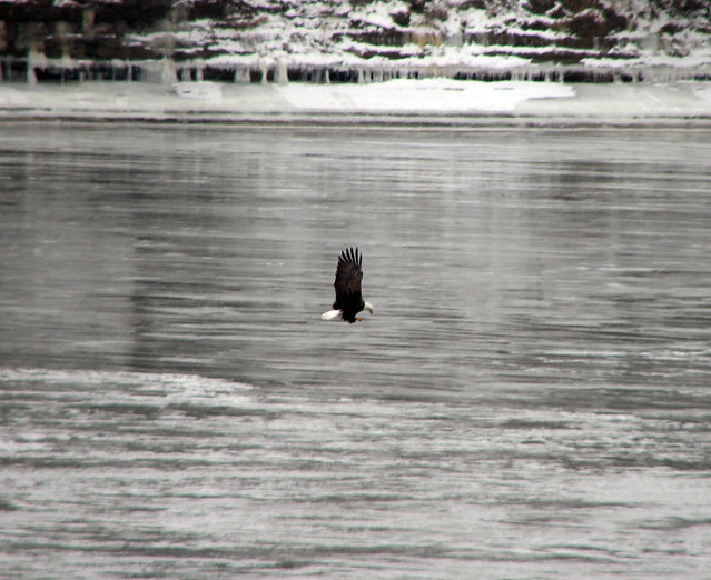 Bald Eagle at Starved Rock