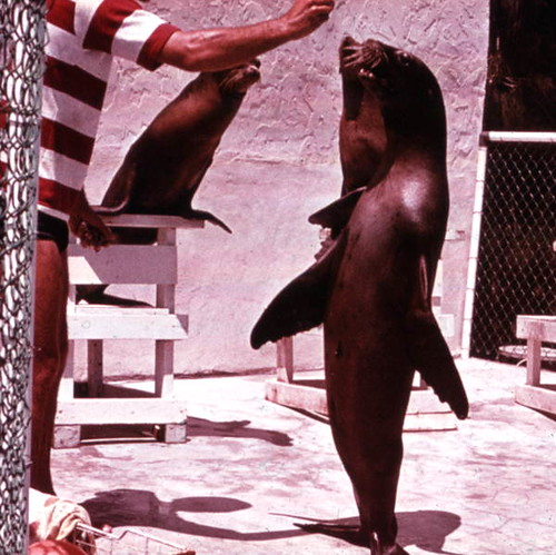 Sea Lion performance during a show at Aquarama