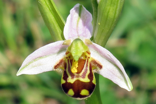 Ophrys apifera 03