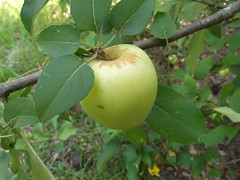 flower, branch, plant, flora, green, produce, fruit, food, apple,