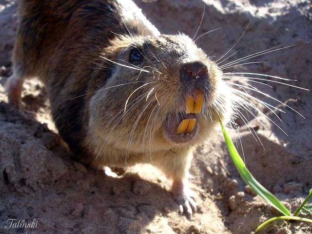 Малый туко-туко (Ctenomys minutus), фото грызуны фотография картинка