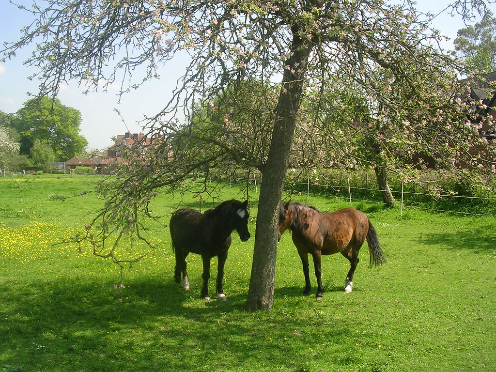 Horses seeking shade Extra walk: Cholsey to Goring That blue stuff is sky.