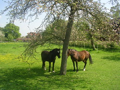 Horses seeking shade