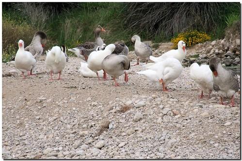 barcelona españa bird animal fauna río river duck spain delta goose ave pato catalunya garraf pájaro ganso foix themoulinrouge anatidae cubelles supershot anserinae mywinners anawesomeshot goldstaraward motadesantpere