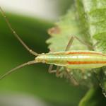 karcsú mezeipoloska - Stenodema laevigata