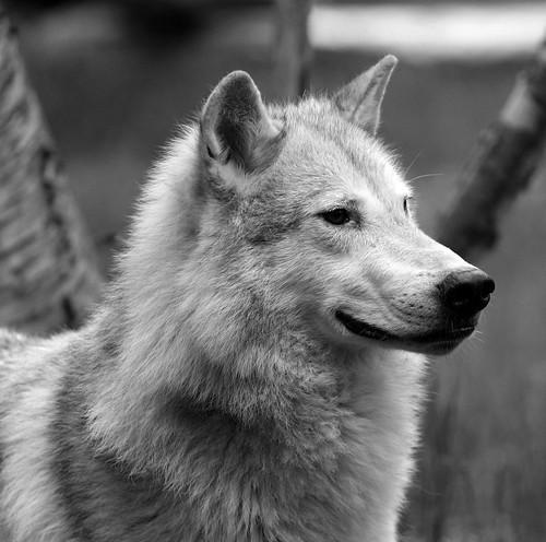 gudu ngiseng blog: black and white wolves