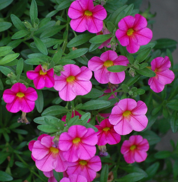 pink million bells - Vining Flowers