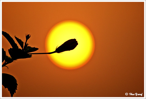 flowers sun leaves silhouette sunrise hibiscus malaysia bud selangor shahalam tropicalflowers sonydslr ibnuyusuf kelabshahalam a200mysonia