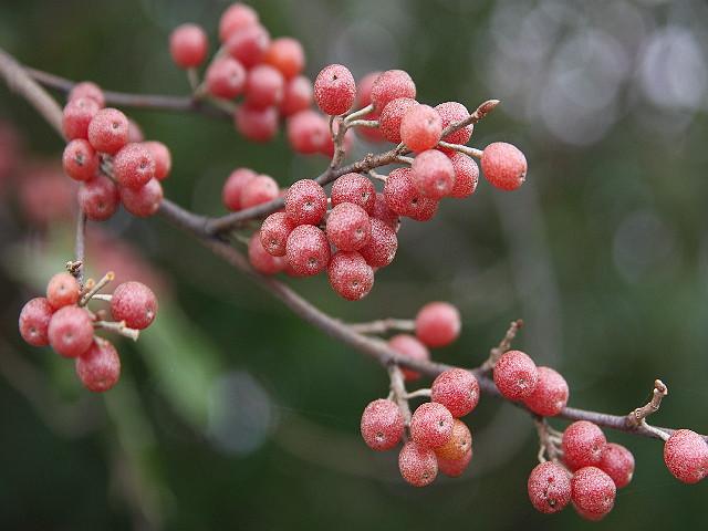 56 Autumn Olive